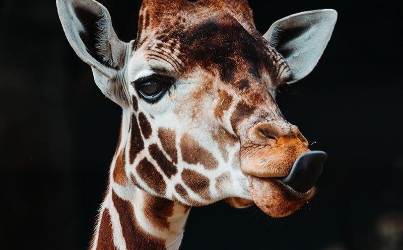 safari-peaugres