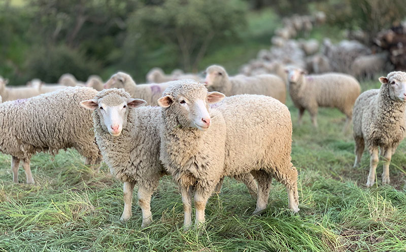 transhumance moutons lyon